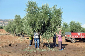 Plastic crates was donated to olive producers